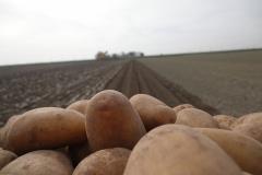 aardappelen-SVZ-akkerbouw-1